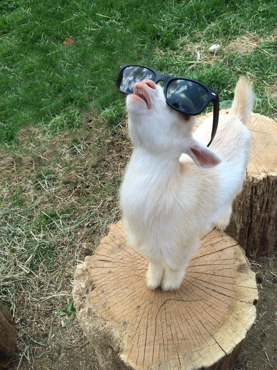 Goat staring at the sky.