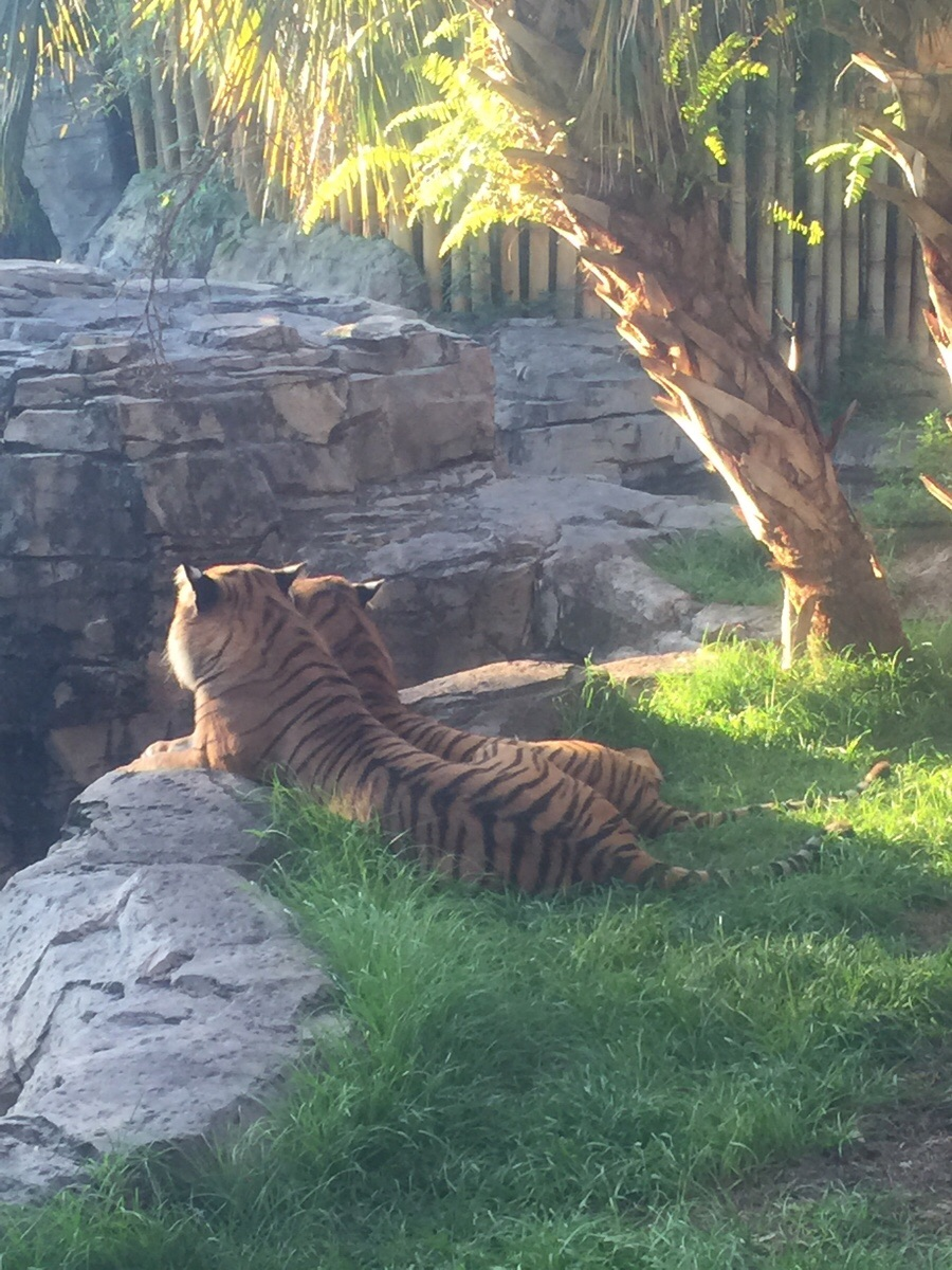 Got a good picture of tigers this morning