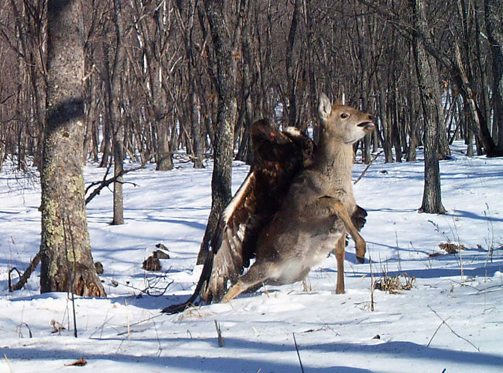 Remote camera catches a golden eagle attacking a deer