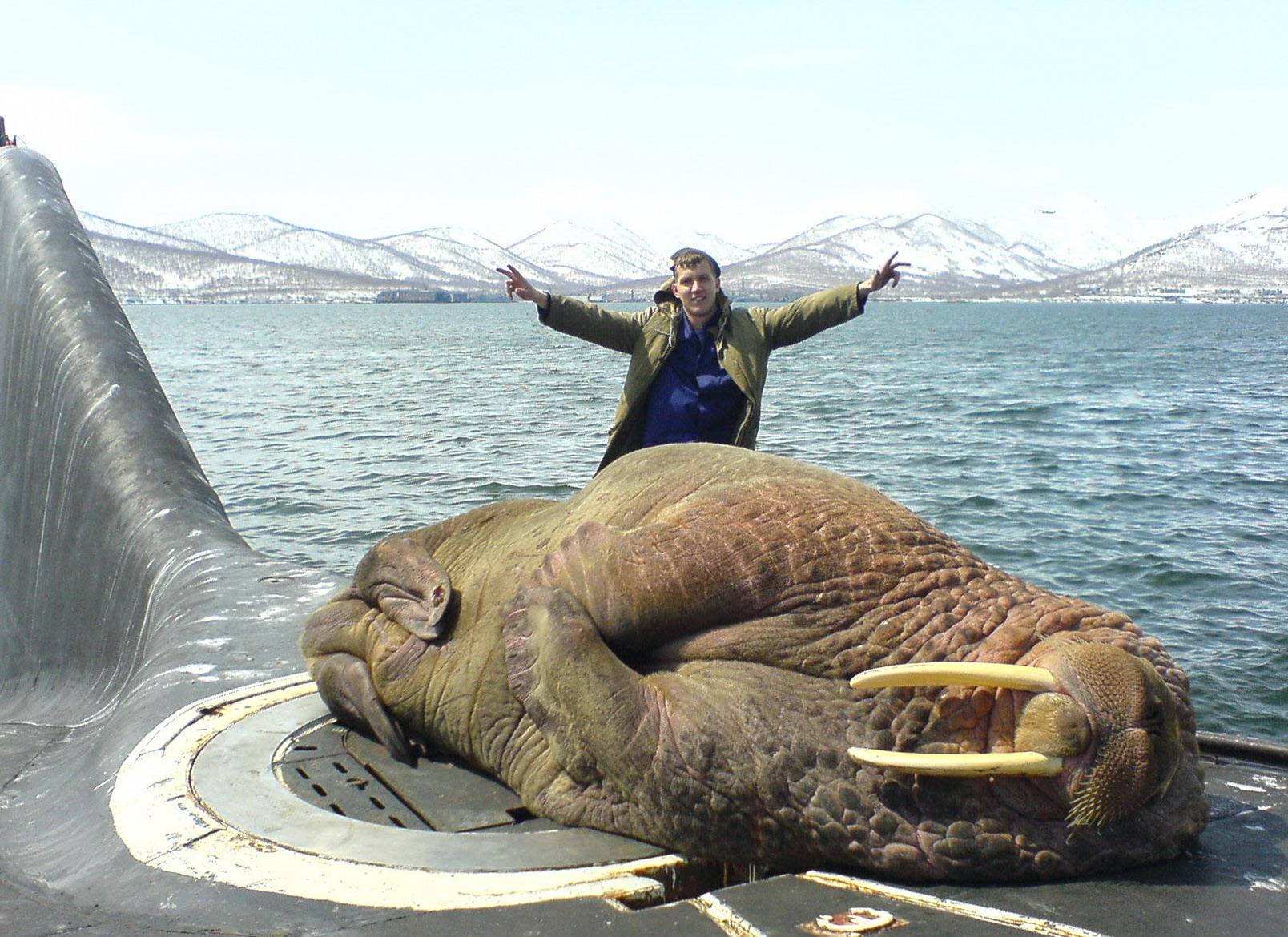 Sleeping walrus on a Russian submarine