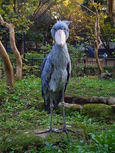 Still wondering what happened to the dinosaurs Meet the Shoebill Stork1