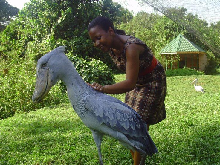 Still wondering what happened to the dinosaurs Meet the Shoebill Stork3
