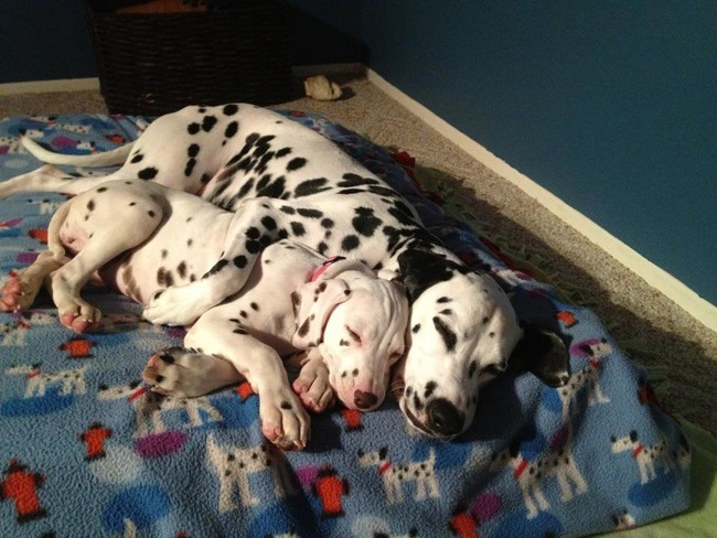 These Pooches Are Absolutely In LOVE With The New Family Puppies...Aww12 - Copy
