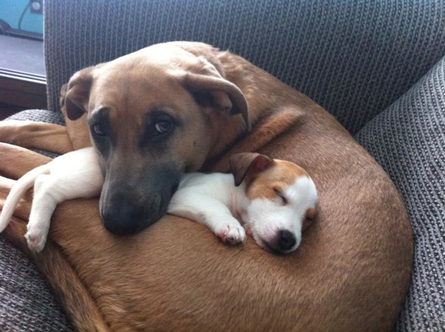 These Pooches Are Absolutely In LOVE With The New Family Puppies...Aww16 - Copy