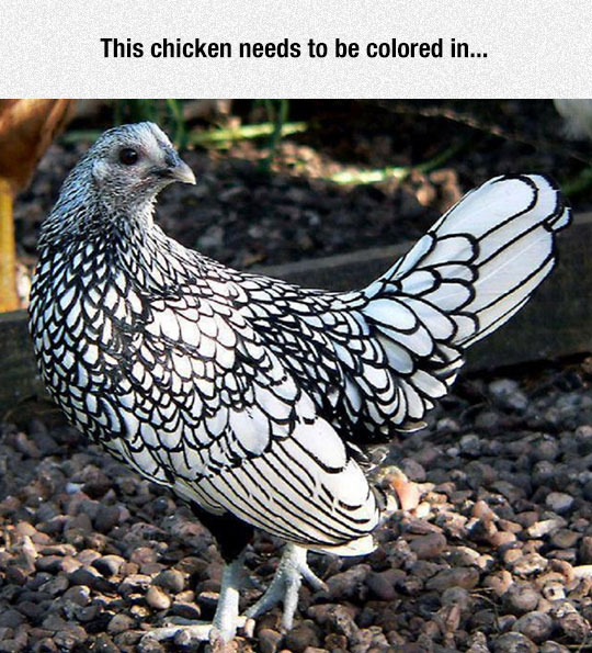 cool-chicken-feathers-white-black
