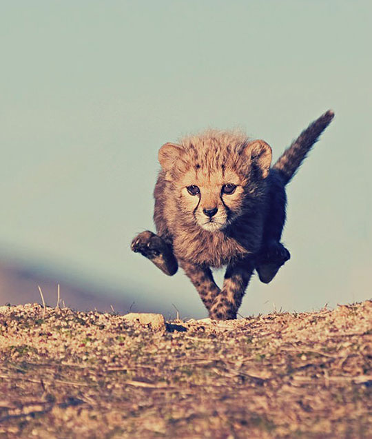 cute-baby-cheetah-running