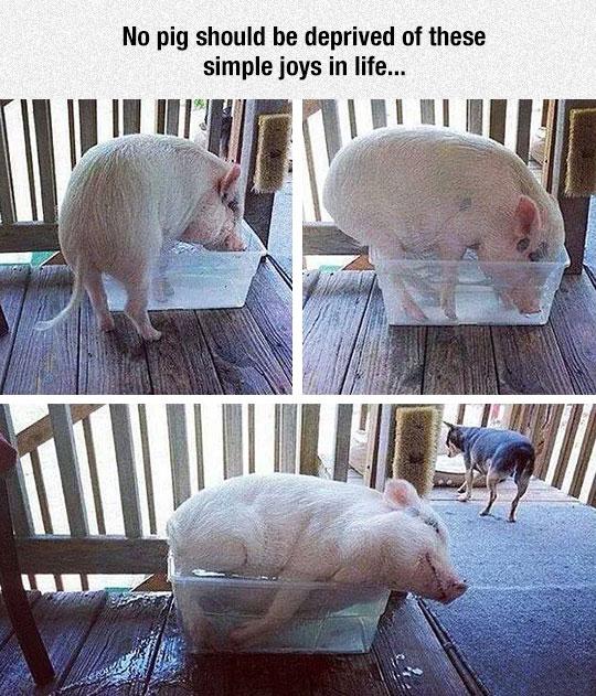 cute-pig-sleeping-bucket-water