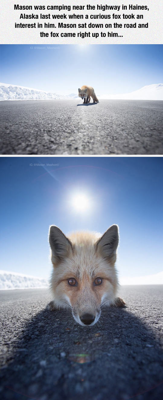 funny-Alaska-highway-fox-camping