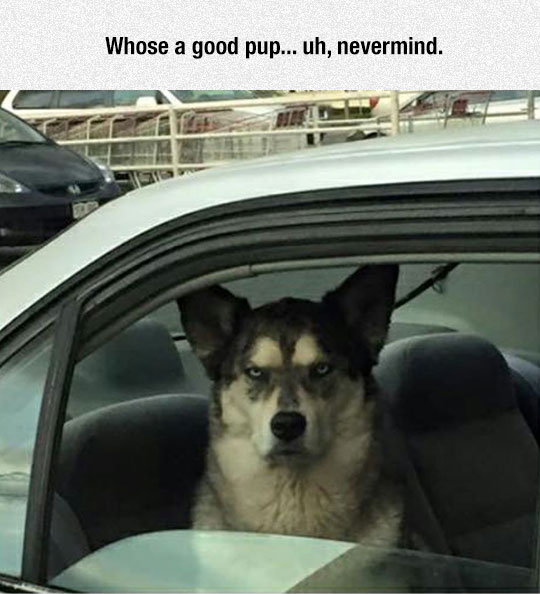 funny-angry-dog-inside-car