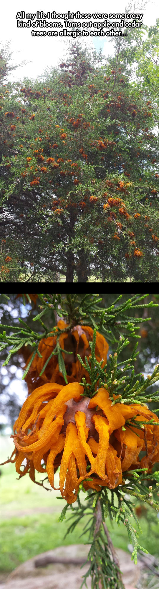 funny-apple-cedar-rust-tree