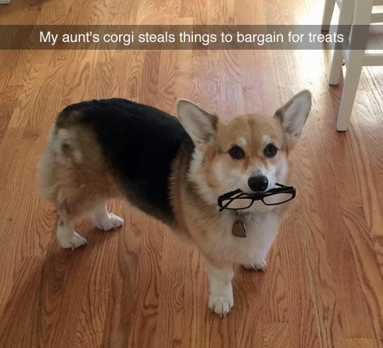 funny-corgi-glasses-steal-change-treats
