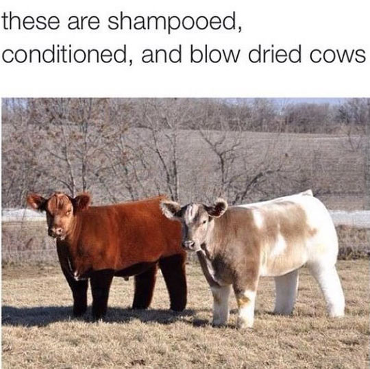 Perfectly Fluffy Cows