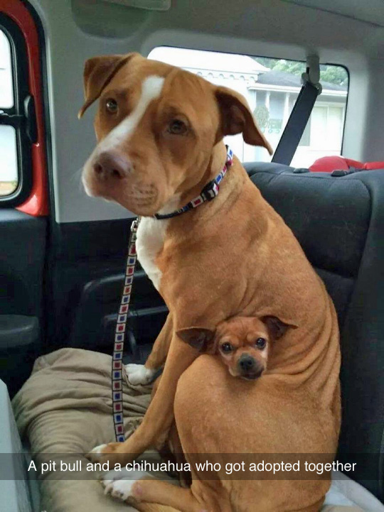 funny-dog-Pit-bull-Chihuahua-car