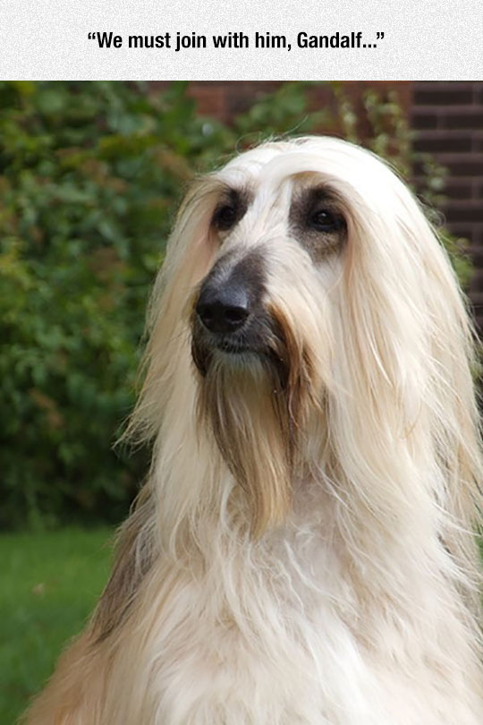 funny-dog-lookalike-LotR