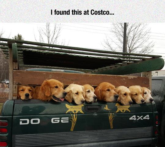 funny-dogs-golden-van-parking