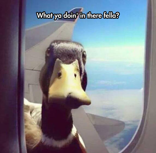 funny-duck-airplane-fly-window