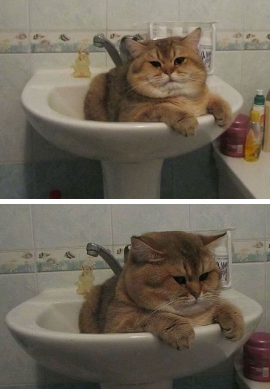 funny-fat-cat-sink-bathroom