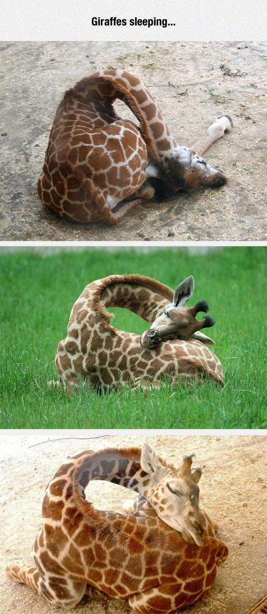 Ever Seen A Giraffe Sleeping?