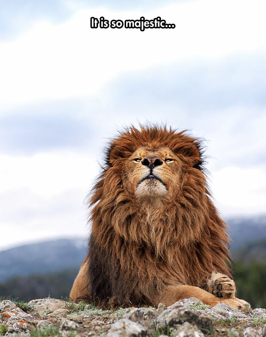 funny-lion-mountain-wind-majestic