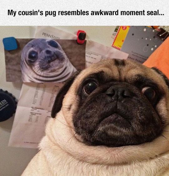 funny-pug-face-seal-lookalike