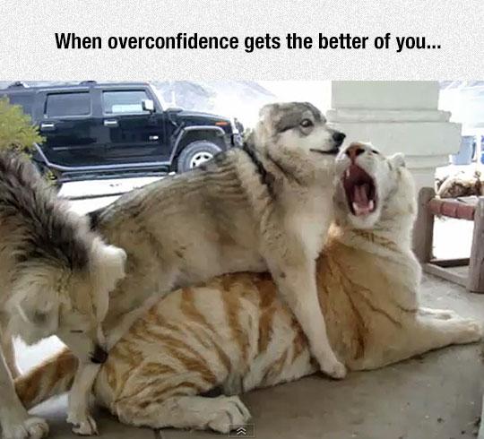 funny-tiger-husky-confidence
