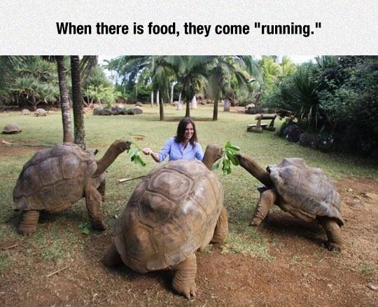 funny-turtles-giant-food-leaf