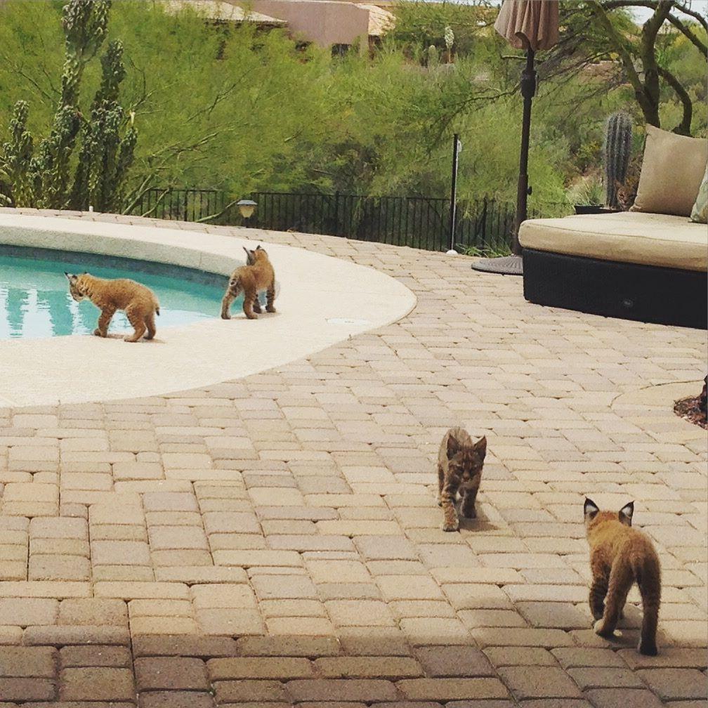 the cute wild bobcat kittens!