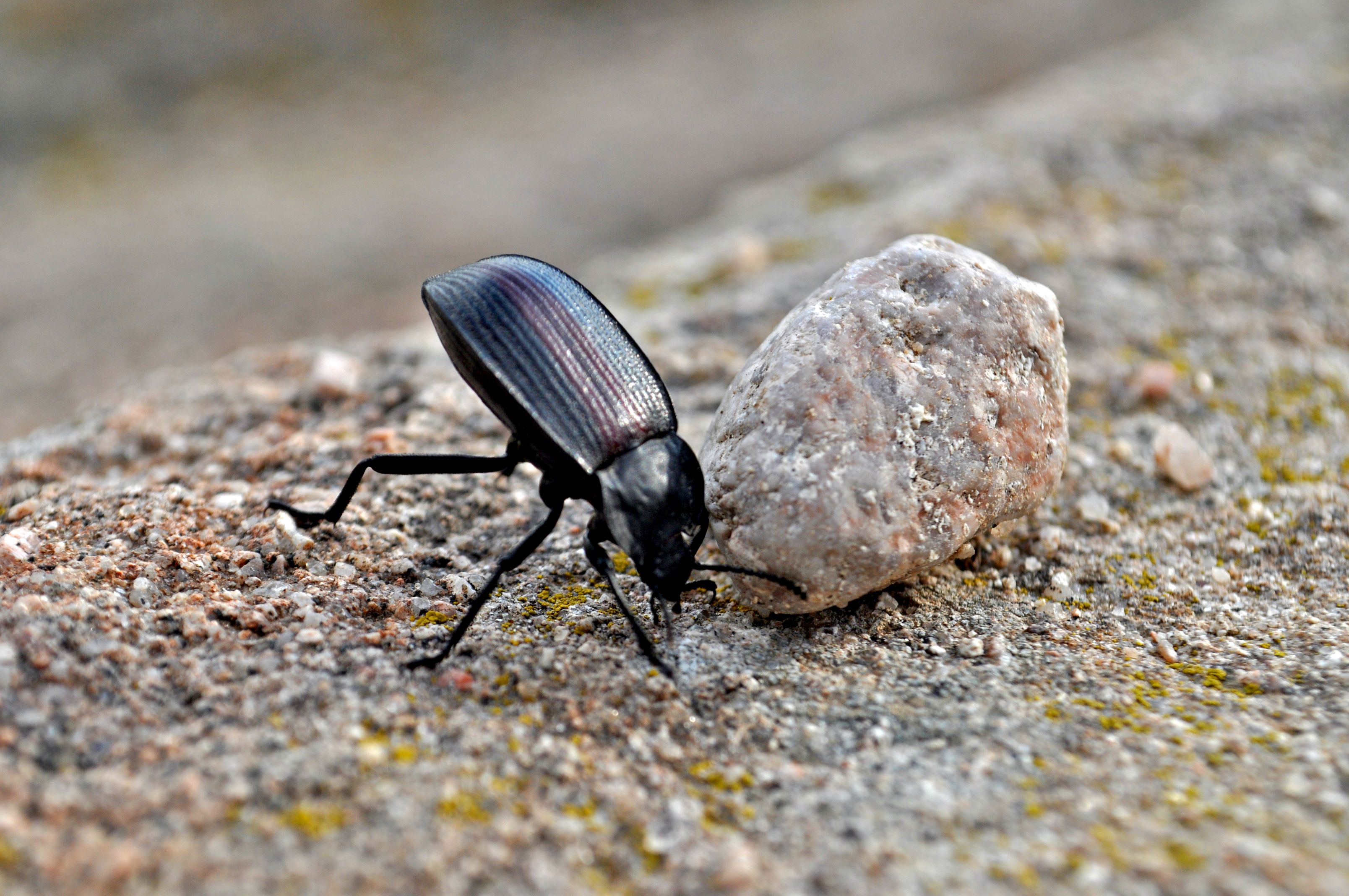 A Beetle Trying to Move a Rock