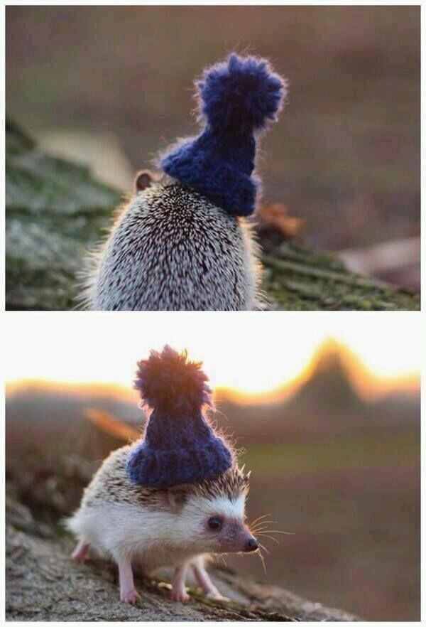 A hedgehog in a little beanie