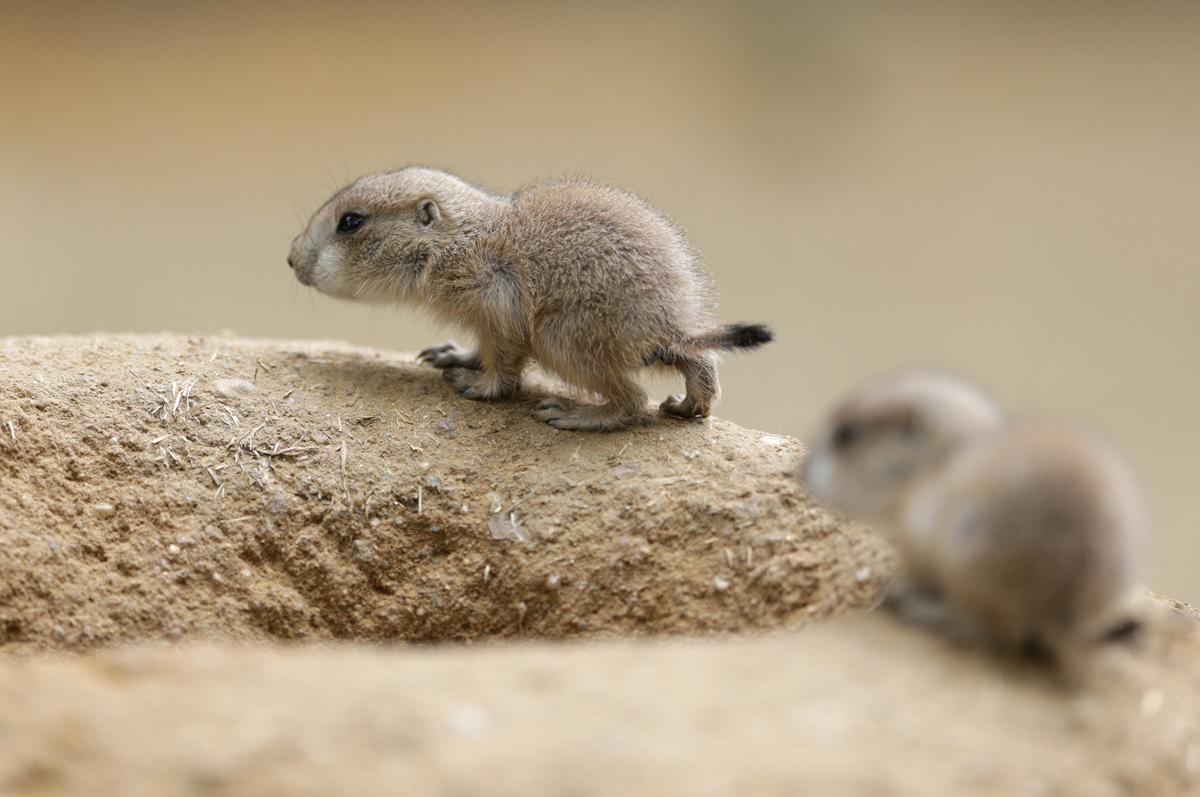 Baby prairie dog.