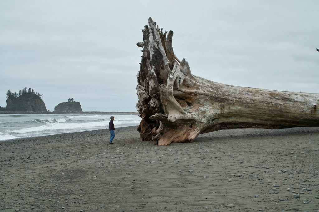 Giant Redwood on the beach.