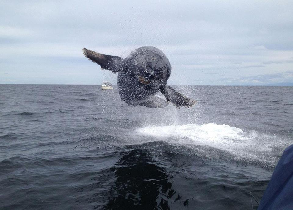 Humpback whale breaches completely out of the water