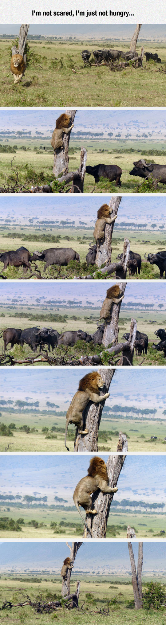 Lion Gets In Trouble