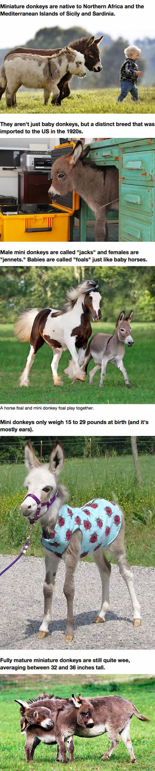 Mini Donkeys Are The Perfect Pets