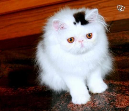 Permanent top hat-cat