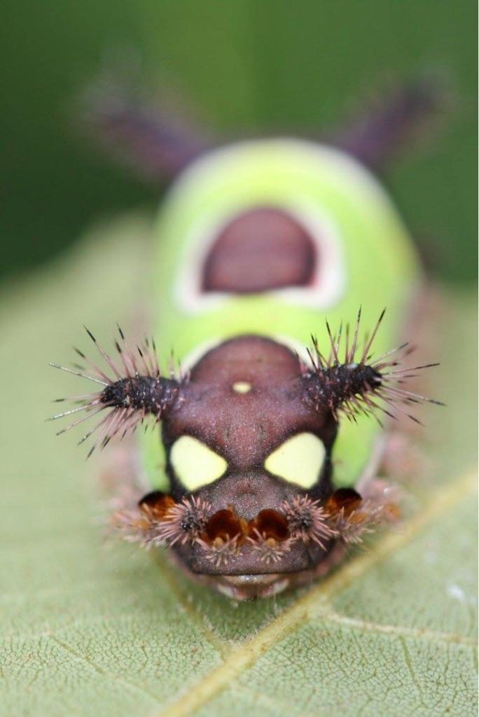 The Saddleback Caterpillar.