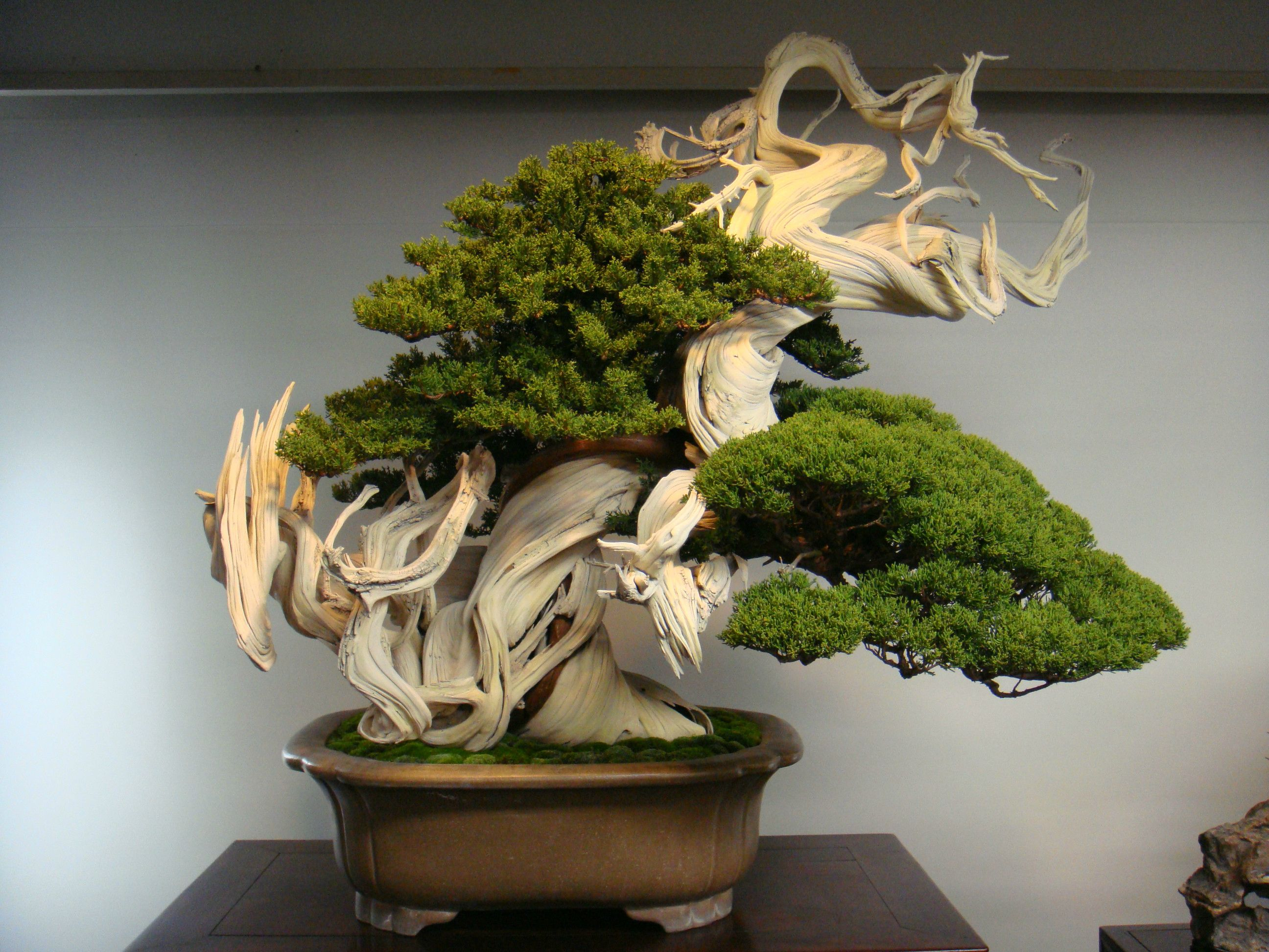 This 800 year old Bonsai is beautiful