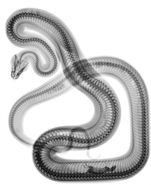 X-ray of a snake.