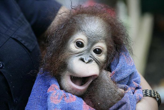 baby_orangutan_04