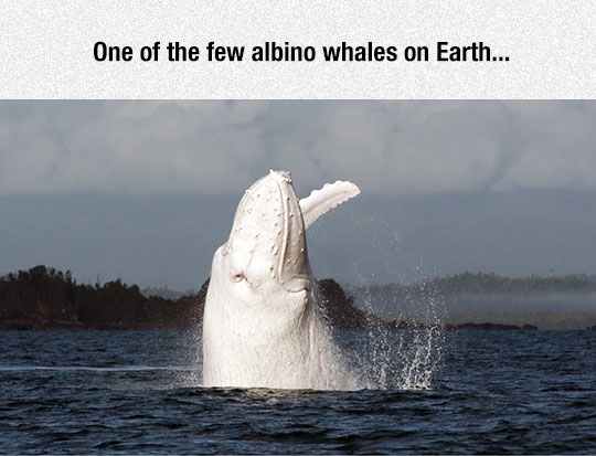 cool-albino-whale-jumping-water