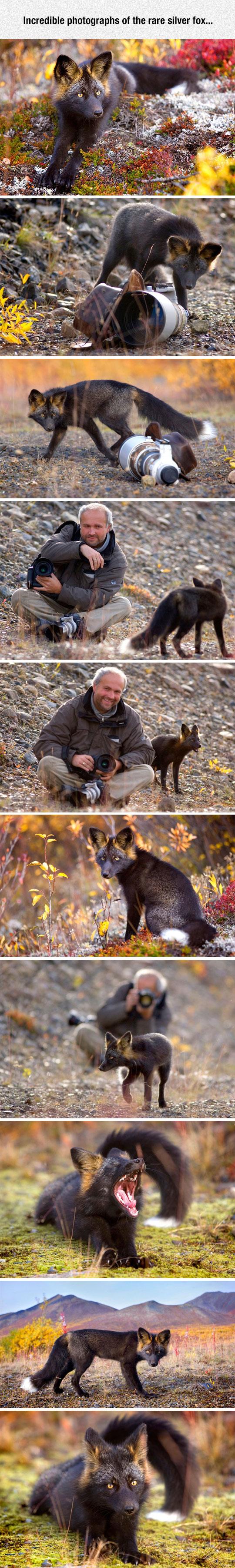 cool-dark-brown-fox-nature