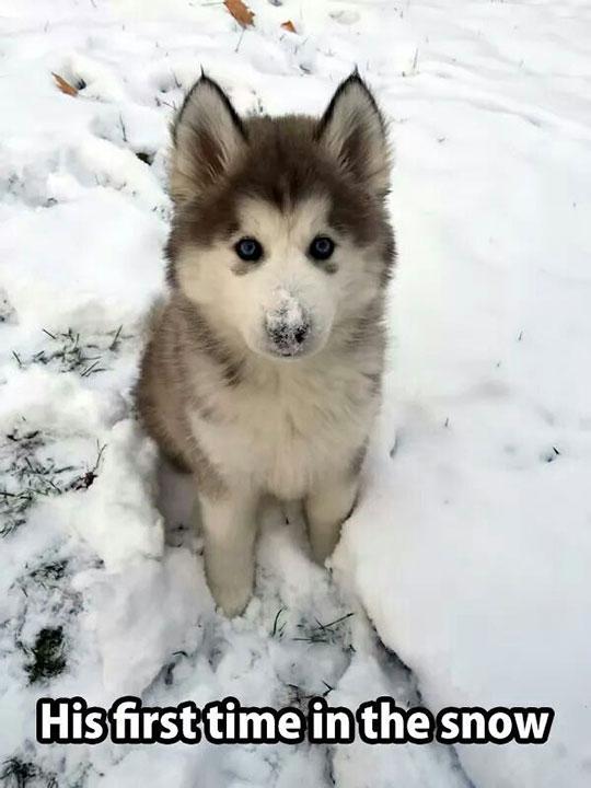 cute-Husky-puppy-snow-nose