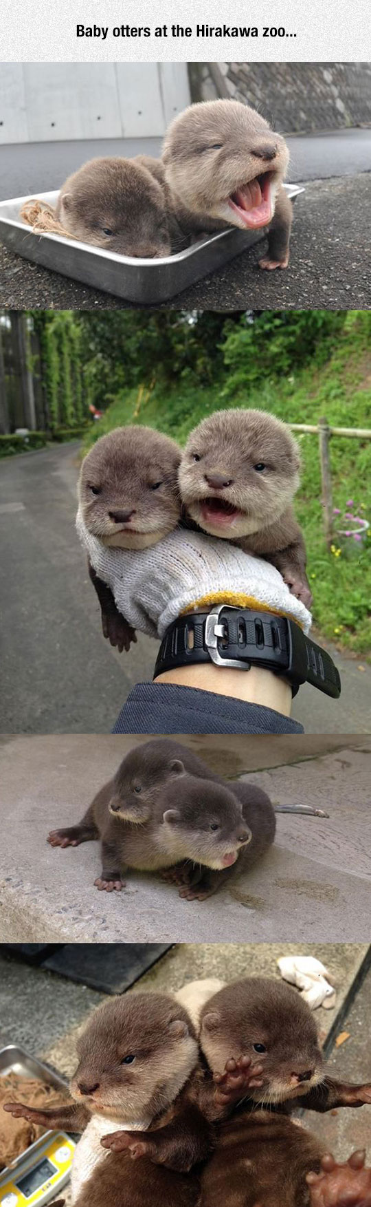 Tiny Baby Otters