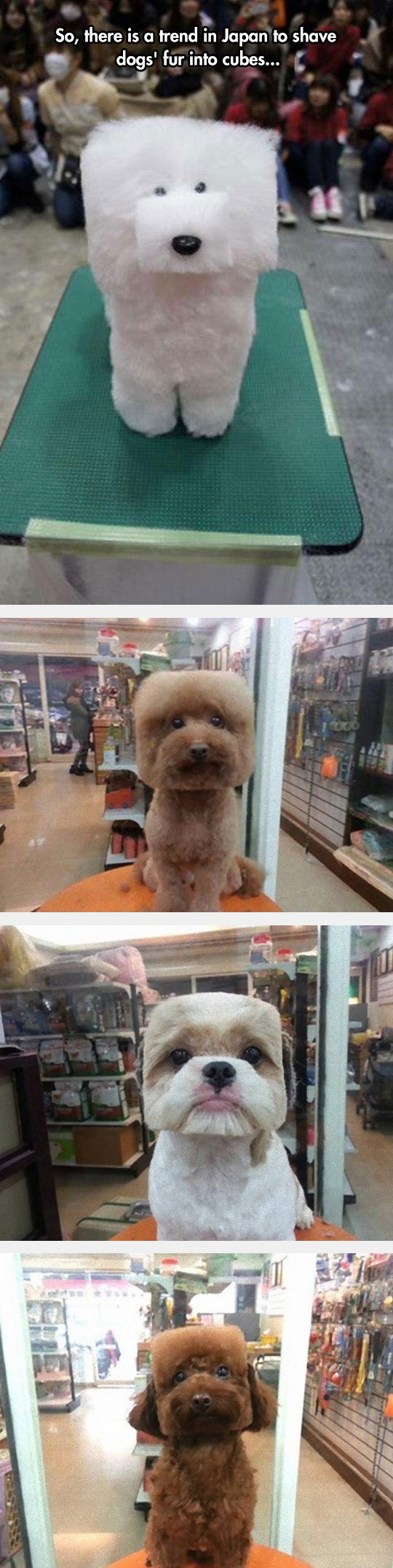 funny-dog-square-fur-white