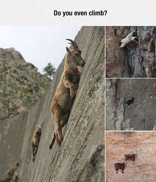 funny-goats-climbing-mountain-skills