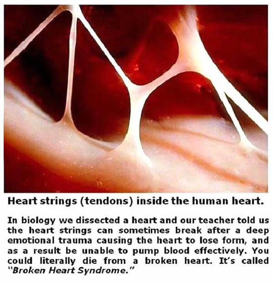 funny-heart-strings-tendons-human