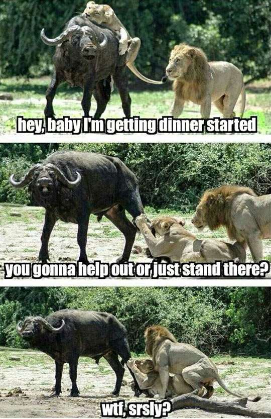 funny-lioness-hunting-lion-helping