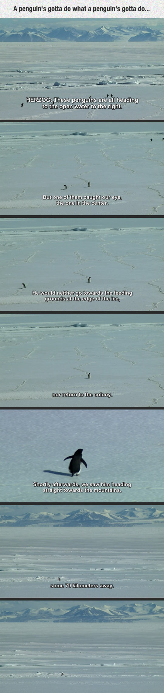 funny-penguin-ice-alone-Herzog