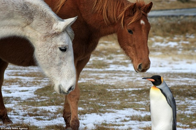 A Herd Of Fuzzy Horses Accept This Solo Penguin As One Of Their Own