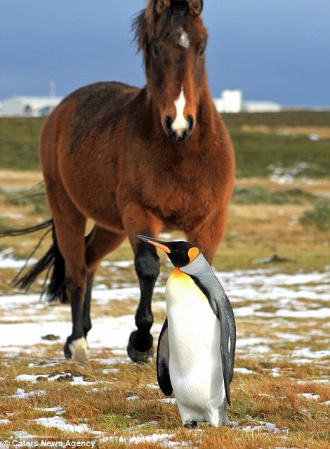 A Herd Of Fuzzy Horses Accept This Solo Penguin As One Of Their Own2